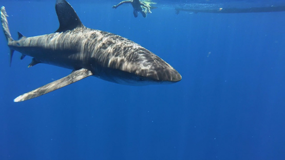 Oceanic shark swimming close to the camera, Moorea, French Polynesia