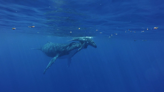 Moorea, Humpback whale mother helping her calf to breath at the surface, French Polynesia