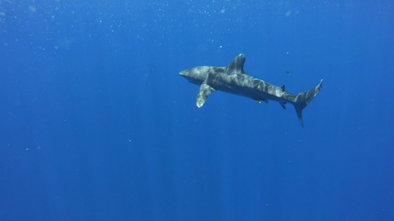 Oceanic shark swimming close to camera, Moorea, French Polynesia