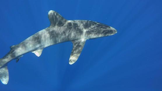 Oceanic shark swimming close to camera, Moorea, French Polynesia