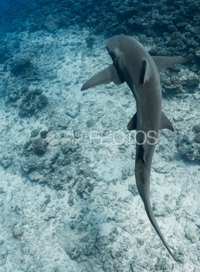 Lemon shark swimming over the reef, shot from the top, Moorea