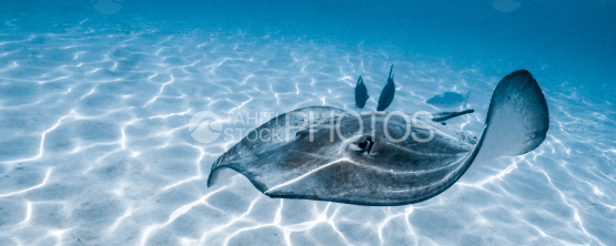 Stingray swimming in the shallow lagoon of Moorea