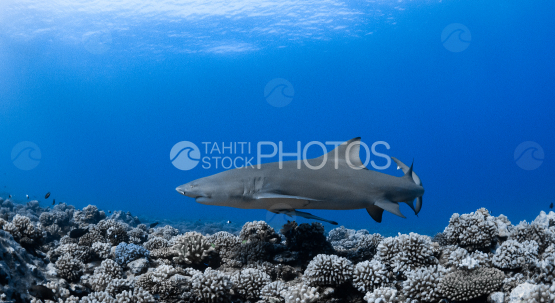 Lemon shark over the beautiful coral reef, Moorea