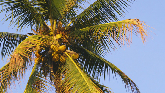 Coconut tree and blue sky, 4K UHD
