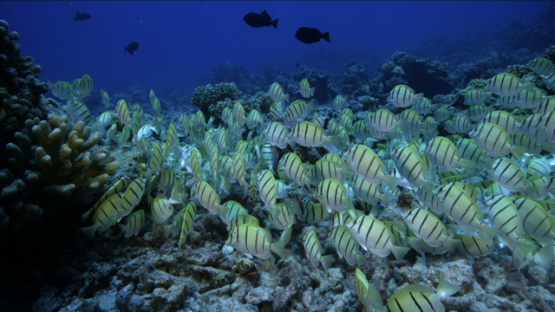 Surgeon Convict tang fishes schooling over the reef, Tikehau, 6K footage