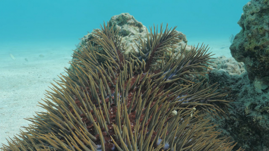 Crown of thorns starfish moving on coral pinnacle in the lagoon, Moorea, 4K UHD