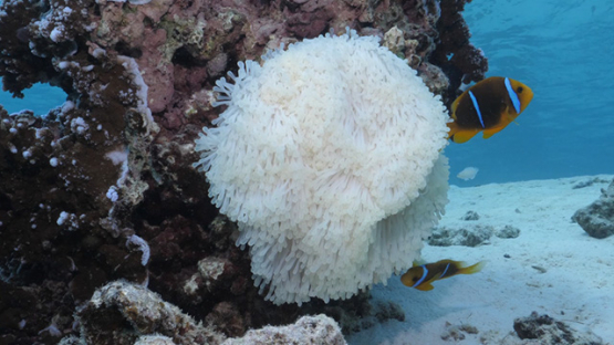 Two clown fishes in sea anemone while coral bleaching, lagoon of Moorea, 4K UHD