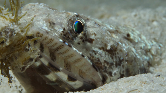 Macro shot of lizard fish on the sand, lagoon of Moorea, 4K UHD