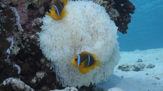 Two clown fishes in sea anemone bleaching, lagoon of Moorea, 4K UHD