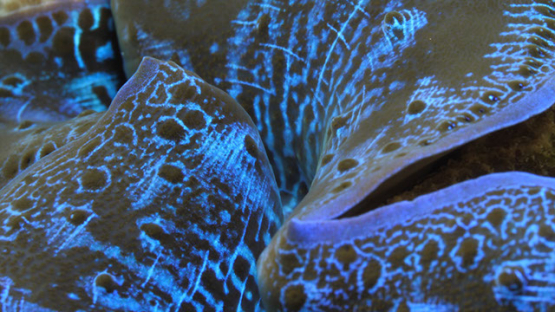 Macro shot of blue giant clams, lagoon of Moorea, 4K UHD