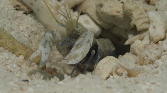 Moorea, shrimp cleaning habitat of goby fish in the sand of the lagoon, macro shot, 4K UHD