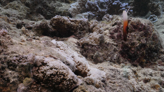 Couple of fire coral goby over the coral reef, Moorea, 4K UHD