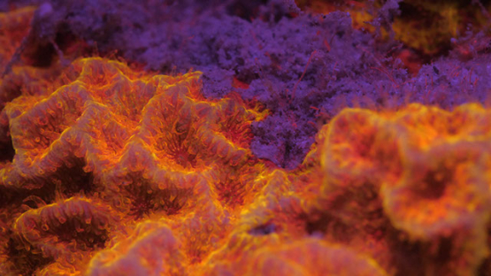 Fluorescent coral and polypes, lighted with UV, Lagoon of Moorea, 4K UHD macro