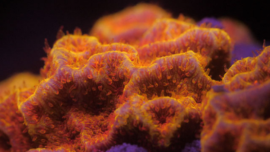 Polypes of Fluorescent coral lighted with UV, Lagoon of Moorea, 4K UHD macro