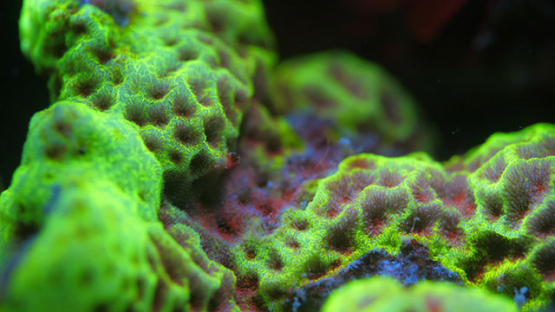 Macro shot of Fluorescent coral under ultraviolet light, Moorea, 4K UHD