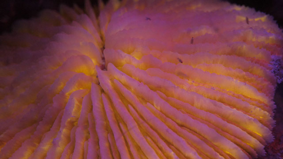Fluorescent mushroom coral under ultraviolet light and shrimps larvas, 4K UHD macro shot