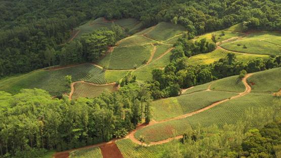 Aerial drone shot of pineapple fields, Moorea 4K UHD