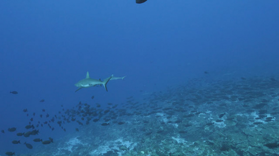 Fakarava, grey reef shark in the pass
