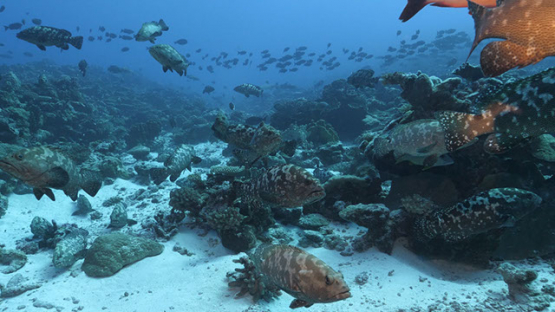 Fakarava, marbled groupers in the pass