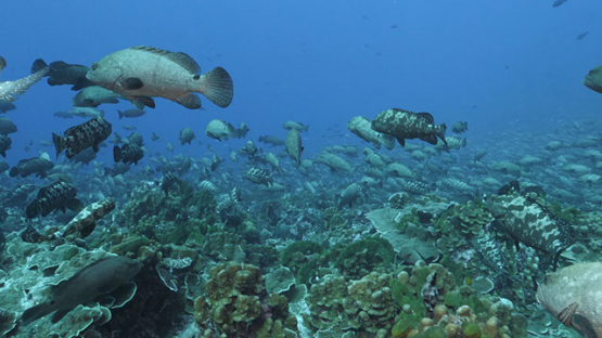Fakarava, thousands of marbled groupers gathering in the pass