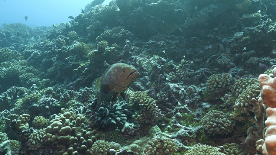 Fakarava, marbled groupers over the coral reef