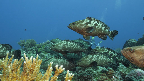 Fakarava, marbled groupers gathering in the pass and divers