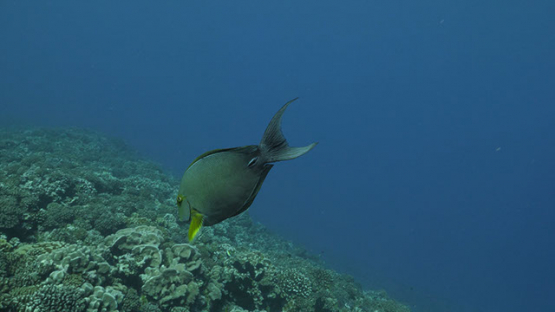 Fakarava, coral reef in the pass and green surgeon fish