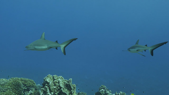 Fakarava, grey sharks in the pass over the coral reef