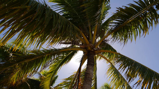 Fakarava, view of palmtree and wind
