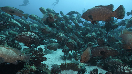 Fakarava, thousands of marbled groupers in the pass and scuba divers