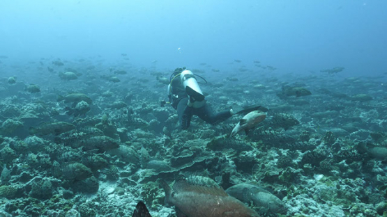 Fakarava, scuba diver evolving among thousands of marbled groupers in the pass