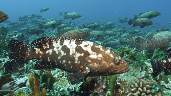 Fakarava, thousands of marbled groupers gathering over the coral