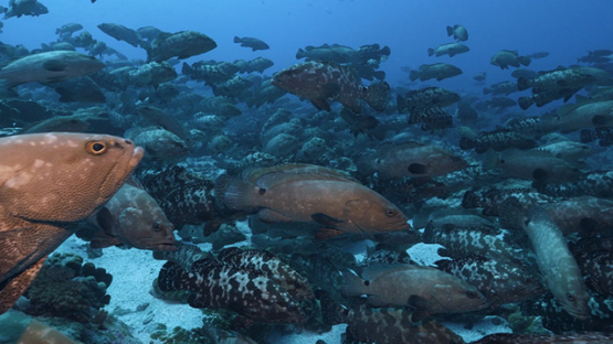 Fakarava, thousands of marbled groupers gathering in the pass, 4K UHD