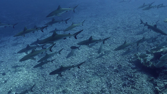 Fakarava, hundred of grey sharks swimming in the pass, 4K UHD