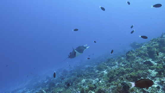 Fakarava, manta ray evolving along the outer reef