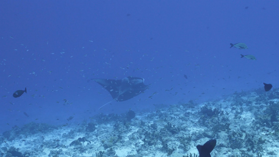 Fakarava, manta ray swimming deep along the reef