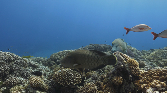 Fakarava, Napoleon wrasse and orange snappers schooling over the coral reef, 4K UHD