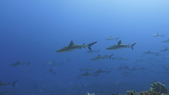 Fakarava, hundreds of grey sharks schooling in the pass, 4K UHD