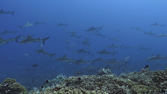 Fakarava, hundreds of grey sharks in the pass, 4K UHD