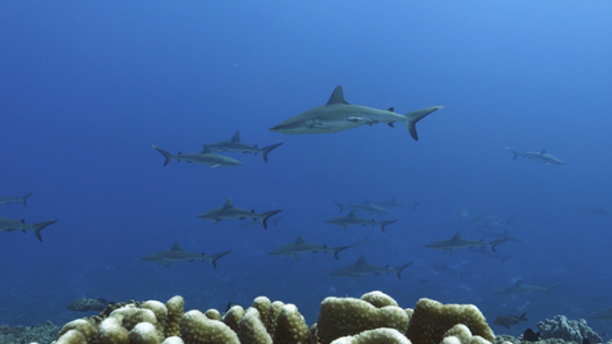 Fakarava, hundreds of grey sharks swimming in the pass, 4K UHD