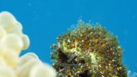 Moorea, larvas of clown fish aggregated near a sea anemonee, shot macro, 4K UHD