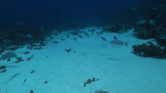 Duck fishes gathering in the pass, Lethrinus olivaceus, Fakarava