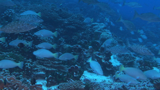 Fakarava, white parrot fishes mating in the pass