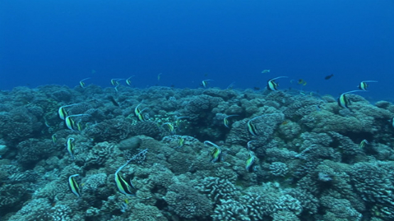 Fakarava, group of moorish idole fishes in the pass