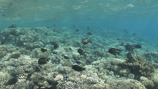 Black surgeon fishes mating and spawning, Fakarava