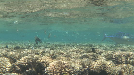 Blue jack fishes hunting while Convict tang surgeon fishes mating, Fakarava