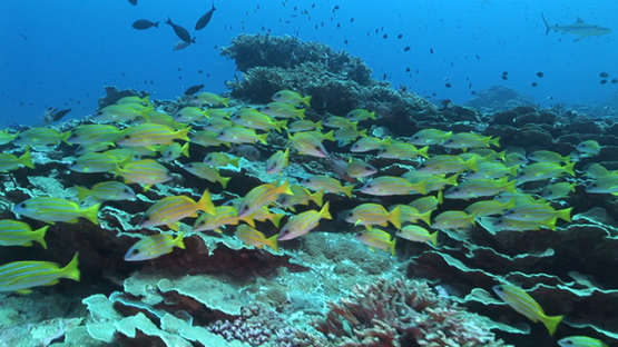Fakarava, blue lined yellow snappers over the coral roses reef in the pass