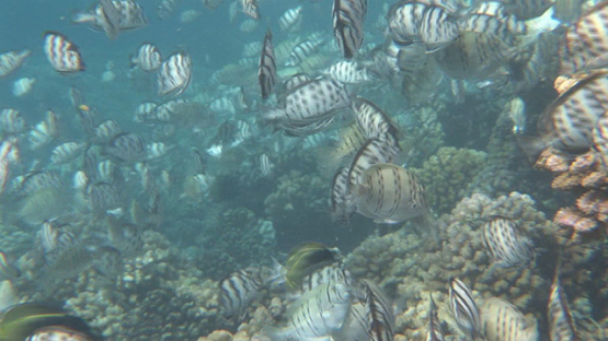 Convict tang surgeon fishes mating, Fakarava