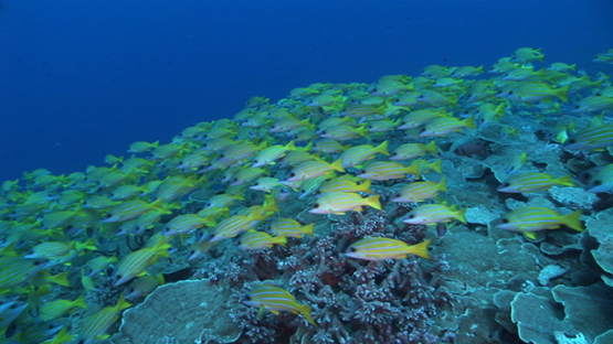 Fakarava, blue lined yellow snappers over the coral reef in the pass