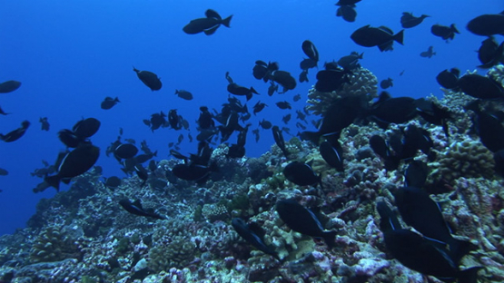 Rangiroa, Blue trigger fishes mating over the reef